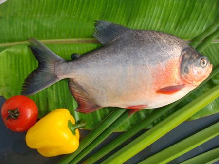 购买 红鲳鱼