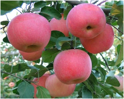 Buy 苹果提取物