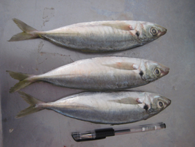 购买 Horse mackerel
