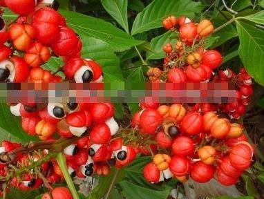 购买 Guarana Seed P.E.