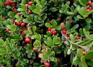 购买 Uva Ursi Leaf P.E.