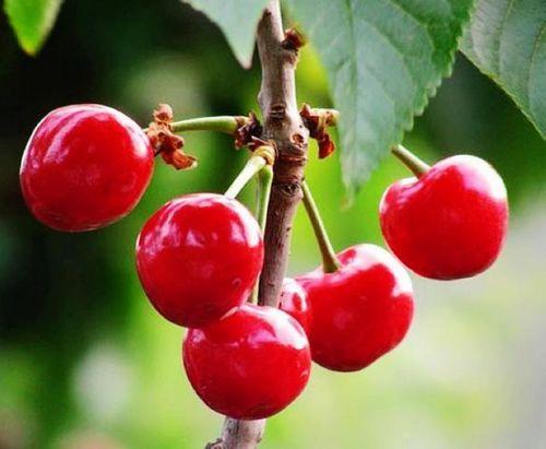 购买 西印度针叶樱桃提取物