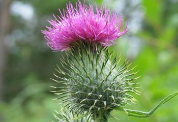 购买 Milk Thistle Extract, Silymarin