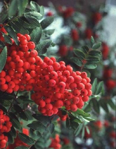 购买 Sorbus pohuashanensis(Hance)Hedl