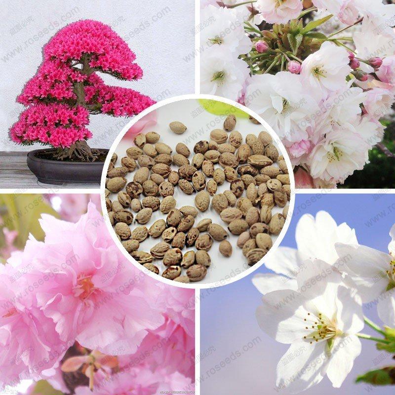 Как сажать сакуру из семян 37
