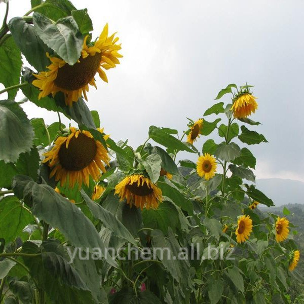 Buy Best selling 10:1 sunflower seed extract
