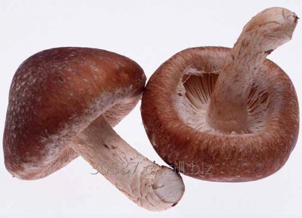Buy Shiitake Mushroom Extract