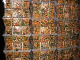 Buy 8kg10kg plastic box packaging Nanfeng miju china orange