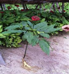 Chinese korea panax ginseng garden for plant seed