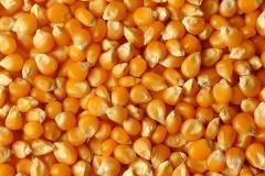 Brown oat