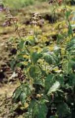 Salvia Vaginate Extract