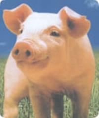 猪、乳猪复合预混料