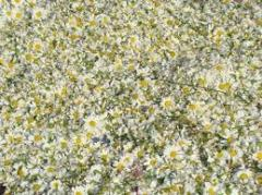 Dried pyrethrum flowers