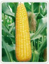 Waxy Corn and Sweet Corn
