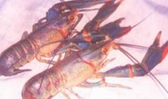 活澳洲龙虾