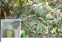 White  camphor oil 35%