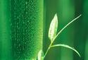 Bamboo Flavones & Bamboo Silica