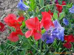 花卉种子、盆栽香豌豆