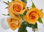 云南昆明优质玫瑰-----假日公主(橘色玫瑰)