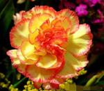 昆明优质鲜花----大花头,粗茎康乃馨----火星