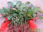 云南昆明玫瑰苗,非洲菊,黄莺,康乃馨等苗