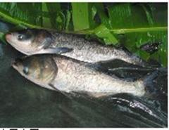 White amur (sort of fish)