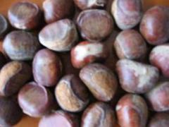 Chinese chestnut