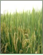垦丰808水稻