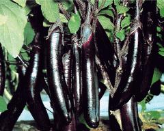 Aubergine seeds