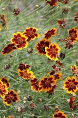 Chamomile Seeds
