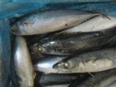 300-500g Mackerel Frozen on Board