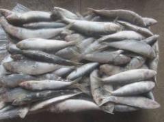 Good Sardine