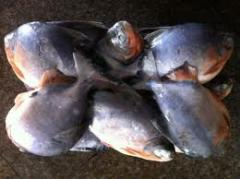 Frozen Red Pomfret