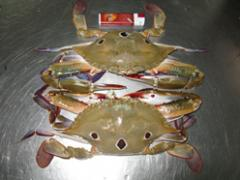 Blue swimming crab