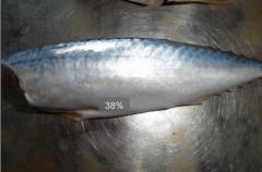 HGT Mackerel