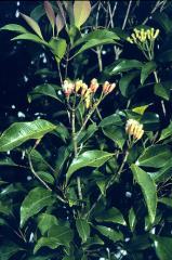 Pure Nature Clove leaf Oil,Crude Clove leaf Oil,Organic Clove Oil,Eugenia caryophyllata,CAS 8000-34-8