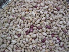 Light speckled kidney beans oval shape