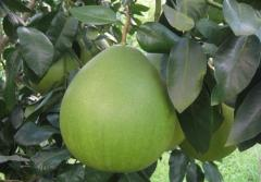 2013 pomelo from China
