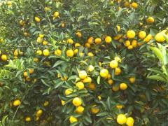 中国满洲里出口南丰蜜桔 江西蜜桔 水果