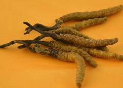 Tibetan Cordyceps Sinensis Aweto Chinese