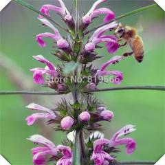 30 pcs Chinese Herbs Leonurus Artemisia Seeds