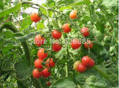 Cherry tomatoes, small tomatoes, potted tomato