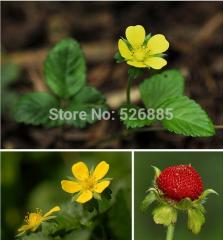 Free shipping Duchesnea indica,  indian