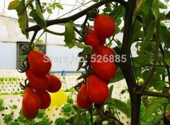 Red pear tomato seeds, tomato seeds, fruit seeds