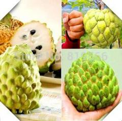 250g chinese sweetsop fruit seeds succulent