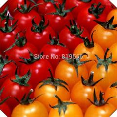 Hot sale 10 pcs Cherry Tomatoes Saint fruit and