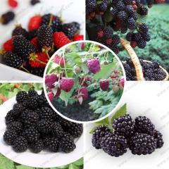 High quality blackberry seeds and blackberries