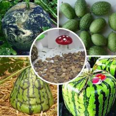 Real organic watermelon seeds large citrullus