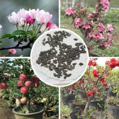 Red Apple seeds very delicious bonsai fruit seeds