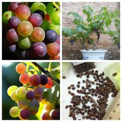 Grape fruit seed, potted Kyoho grape seed red